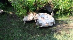When This Giant Tortoise Found Himself Stuck On His Back, His Smart Friend Came…