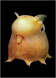 Dumbo Octopus, so named for its ear like protuberances, or Grimpoteuthis, swims slowly above the ocean floor and descends to feed. Photo by Claire Novian.