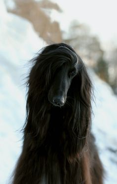 black afghan hound - Google Search
