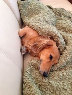 World's most spoiled wiener dog