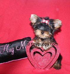 Teacup Yorkie Puppies and Yorkie Boutique! tinypuppy.com