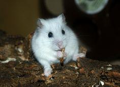 White djungarian hamster #white #hamster #djungarian #mealworm