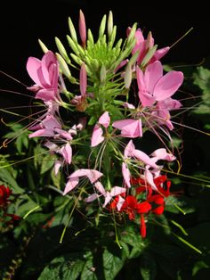 Cleome grows well in average soil located in full or nearly full sun. It is very drought-tolerant, though it will look and grow better if it is watered well. Space spider flower plants one to three feet apart.