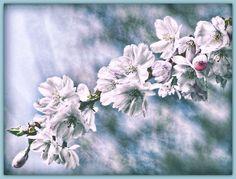 Cherry Blossoms - Kirschblüten - null