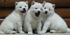 The Hokkaido Dog is medium in size, with small, triangular, upright ears. Hokkaido Dog, Dog Information, All Dogs, Dog Breeds, Husky, Names, Japan, Pets, Animals