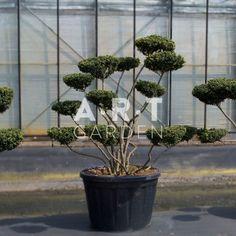 Arbres nuages ilex arbres nuage japonais bonsai geant - Bonsai arbre prix ...