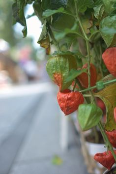 Chinese lantern plant sold in Kagurazaka