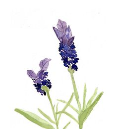 Lavender original watercolor painting  painting by TheJoyofColor, $42.00