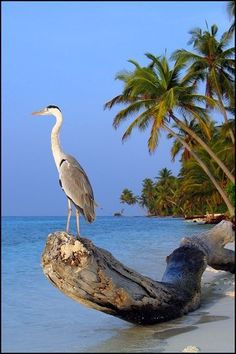 Grey heron on a log at the beach (. yes, with palm trees and. Best Picture For kiwi Birds Photog Sea Birds, Love Birds, Beautiful Birds, Grey Heron, Tier Fotos, Beach Scenes, Bird Watching, Bird Feathers, Beautiful Creatures