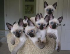We are Siamese if you please.  We are Siamese if you don't please.
