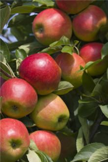 Dwarf McIntosh Apple Tree, AK state lists as highly resistant to cedar rust