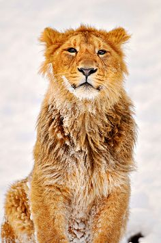 Jasraj knows how to pose!... zoo of Zürich (photograph by Tambako the Jaguar, via Flickr)