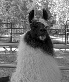Image result for argentine llama Animals, Image, Animaux, Animal, Animales, Animais