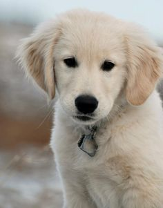 SPLASHDUCK sharing cute adorable animal pictures and related information websites. Wilco the Golden Retriever