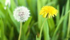 Gyógynövény határozó - Gyermekláncfű Taraxacum Officinale, Herbalism, Dandelion, Herbs, Health, Flowers, Plants, Herbal Medicine, Health Care