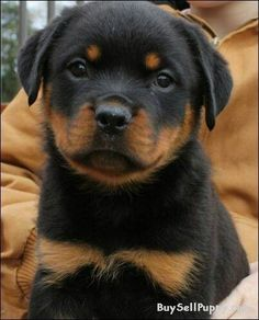 Fotos/Bilder Rottweiler facts, Dog care, Rottweiler puppies