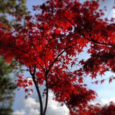 Beautiful maple....