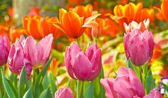 Tulipány jsou nejvznešenější ozdobou jarních záhonů i kytic. Můžete je pěstovat v odrůdách s květy nejrůznějších tvarů a barev, až oči přecházejí. Jak je vysazovat, množit a jak se o ně starat, aby do krásy rozkvetly každým rokem?