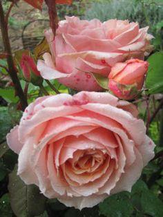 Double Salmon Rose 'Paul Bocuse' Guillot BEAUTIFULLY    ROSE  FRENCH ,,,DEL  COOK   PAUL  BOCUSE  **+