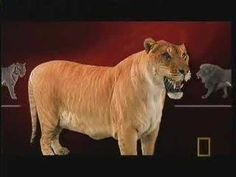Liger on National Geographic Ultimate Cat
