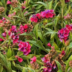 Layers aren't just for fashion they're for building beautiful gardens too. Adding this Raspberry Splash Lungwort groundcover under your shrubs makes all the difference. . . . #monroviaplants #monrovianursery #GrowBeautifully #RaspberrySplashLungwort #Lungwort #Pulmonaria #PulmonariaRaspberrySplash #Groundcover #RockGarden #MassPlanting #gardenlovers #gardeners #lovegardening #gardening #garden #gardenlifestyle #gardendesign #flowers #plants #blooms #plantvibes #Plantsofinstagram…