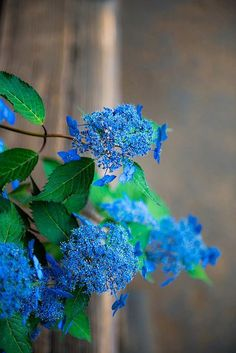 Lace-cap hydrangea. Beautiful, but don't even try to tell me no photoshop. Very artistically!