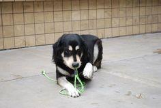 Tibetan Mastiff Rescue, Inc. - Parker's Rescue Success Story - Click on Pic