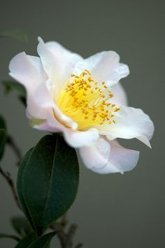 photo: white camellia ... just like the ones we had at our house when I was little ...