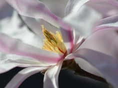 The petals of a star magnolia play in the sunlight