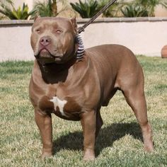 Blue Nose Pitbulls is one of the popular Pit breeds. Find out why the blue and red nose color occurs in other pitbull dog breeds. Enjoy reading our guide about this pitbull breed Pitbull Dog Breed, Bully Dog, Rottweiler Puppies, Pitbull Terrier, Lab Puppies, Big Dogs, I Love Dogs, Cute Dogs, Beautiful Dogs