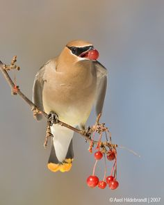 """""""Would You Like A Berry?""""        (Photo By: Axel Hildebrandt on 500px.)"""