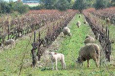 vineyard bandol