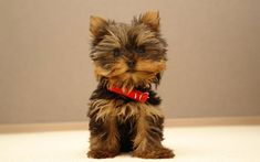 Dogs I do Adore!!! Share and join the community! #Follow #SavoryPrime #SavoryPrimePetTreats #yorkshire #Terrier