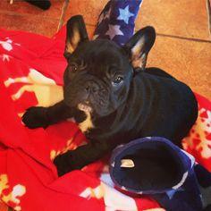 Simple Cuby Chubby Adorable Dog - 7a38ebe71056c99d0bc3ae4fcb2a459f--french-bulldogs  HD_415215  .jpg