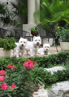 These Westies are ready to get their Friday on!