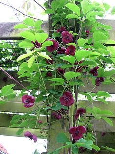 Akebia quinata/Chocolate Vine is a semi-evergreen twining climber which can reach in height and in spread. The flowers actually smell of chocolate hence its common name. It likes a position in full sun or partial shade in moist but well drained soil. Love Garden, Garden Care, Back Gardens, Small Gardens, Outdoor Plants, Garden Plants, Crassula Succulent, West Facing Garden, Planting Plan