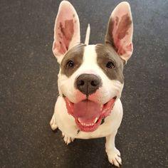 Our bunny boy Abbott!! #rabbitears #dogsofinstagram #happydogs #dogdays