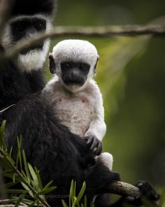 Baby Colobus Monkey by Elsen Karstad