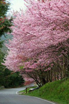 Pink flowering trees of Spring