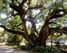 The Duffie Oak, 2011, in Mobile, Alabama. This expansive tree is a 300 year old Southern live oak that serves as the oldest living landmark in the city.  It was named after Mobile Mayor George A. Duffy in 1878.