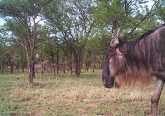 Snapshot Serengeti - help scientists classify animals caught on motion capture cameras! So fun!