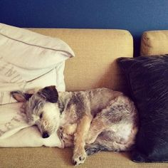 Yoga Chapel - Google+ www.yogachapel.com  Happy #National #Adopt a #Shelter #Pet Day! Life wouldn't be the same without this lil #savasana-loving #yogi. Chance was found slumped in the corner of a highkill shelter in California. #ResueDog #TakeAChance #YogaChapelMascot