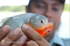 Don't worry, piranhas won't bite you! Amazon River, Amazon Rainforest, April 20, Don't Worry, Wildlife, Fish, Dolphins, Pisces