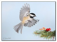 Chickadee In Flight | Flickr - Photo Sharing!