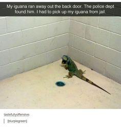 Jailed Iguana