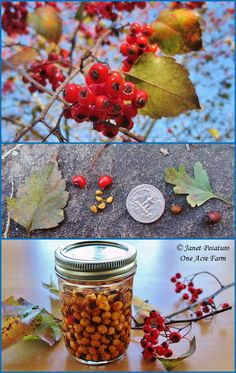Wild Food Foraging and Harvesting Hawthorn Berries Homesteading  - The Homestead Survival .Com