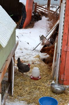 Caring for chickens in the winter - no lights or heat needed