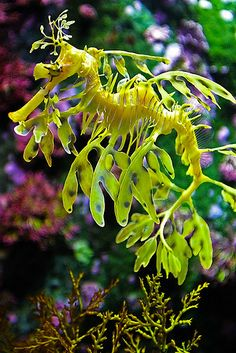 Leafy sea dragon Leafy sea dragons are marine fish with leaf-like appendages that keep them well camouflaged in floating seaweed. Picture by Aram Williams. Underwater Creatures, Underwater Life, Beautiful Sea Creatures, Animals Beautiful, Deep Sea Creatures, Leafy Sea Dragon, Life Under The Sea, Salt Water Fish, Salt Water Tanks