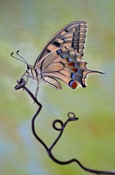 Butterfly by Ivo Pandoli