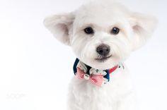 Cute Maltese神秘一笑 - 神秘一笑